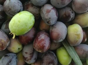 sådan laver du oliven, sådan gør du oliven spiselige, hvordan laver man oliven spiselige, spiselige oliven opskrift, opskrift på oliven, oliven, fakta om oliven, vidst du det, alt om oliven, sådan gør du dine oliven spiselige, oliven fra tyrkiet, oliven sorter, produktion af oliven