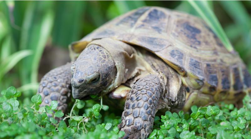 Fritgående skildpadder, skildpadder i Alanya, fritgående skildpadder alanya, alanyas skildpadder, hvor kan man se skildpadder i alanya, hvor kan man se skildpadder i tyrkiet