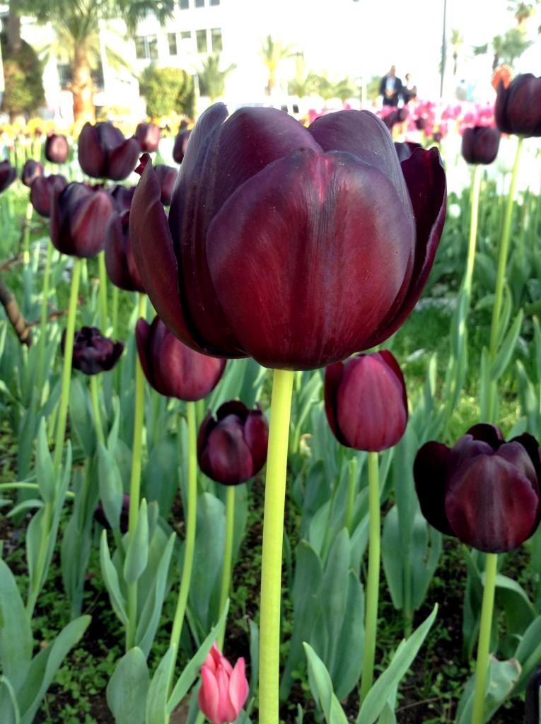 Tyrkiets nationalblomst, Tyrkiets nationalblomst er tulipan, tulipan på tyrkisk, hvad er tyrkiets nationalblomst, fakta om tyrkiet, fakta om alanya