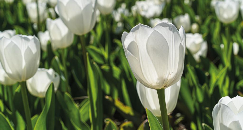 Tyrkiets nationalblomst, Tyrkiets nationalblomst er tulipan, tulipan på tyrkisk, hvad er tyrkiets nationalblomst, fakta om tyrkiet, fakta om alanya, tulipaner Alanya, Alanya blosmter, alanya forår