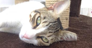 klipper de i kattens ene øre, steril kat alanya, hvorfor klipper man i kattens øre, hvorfor er det et klip i kattens øre, hvad betyder klippet i kattens øre, klip i kattens øre betyder den er steril, sterile katte alanya, gadekatte alanya, dyr i alanya, gadedyr i alanya