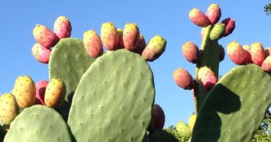 spiselig kaktus, kaktus knop, spiselig kaktus knopper, spiselige kaktus knupper, spis en kaktus, tyrkiske specialiteter, specialiteter fra tyrkiet, kaktusfigner
