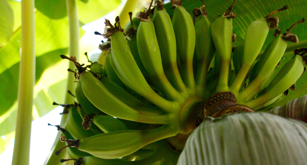 bananen, da banan kom til alanya, bananer i alanya, alanyas babaner, alanya,dk, fakta om alanya