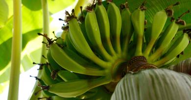 bananen, da banan kom til alanya, bananer i alanya, alanyas babaner, alanya,dk, fakta om alanya, banantur, eurodan banantur, se banan plantage, udflugter i alanya, alanya udflugter, alanya seværdigheder, Alanya eurodan,bananer fra alanya, frugt fra alanya, alanya dk, alt om alanya, info om alanya