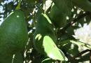 avokado, fakta om avokado, guide til avokado, gode grunde til at spise avokado