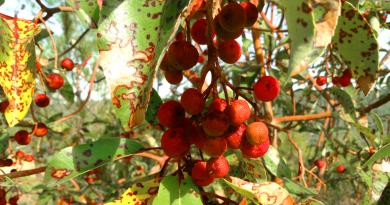 Myrte, jordbær fra tyrkiet, tyrkiske jordbær, murt, frugter fra tyrkiet, bazar tyrkiet, alanya bazar, bazar alanya, markedsdage i alanya, alanya markedsdage, vinter bær