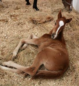 Cavallo-horse