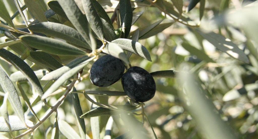 eurodan-oliventur-olivenolie