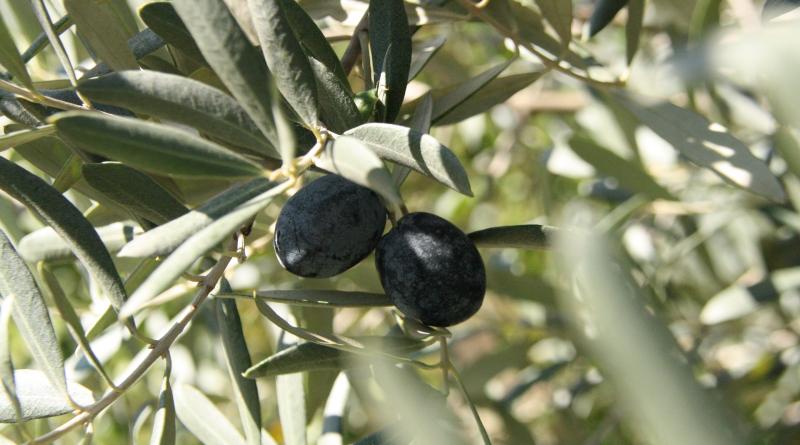 Sådan laver du oliven spiselige, sådan laver du oliven, sådan gør du oliven spiselige, hvordan laver man oliven spiselige, spiselige oliven opskrift, opskrift på oliven, oliven, fakta om oliven, vidst du det, alt om oliven, sådan gør du dine oliven spiselige, oliven fra tyrkiet, oliven sorter, produktion af oliven