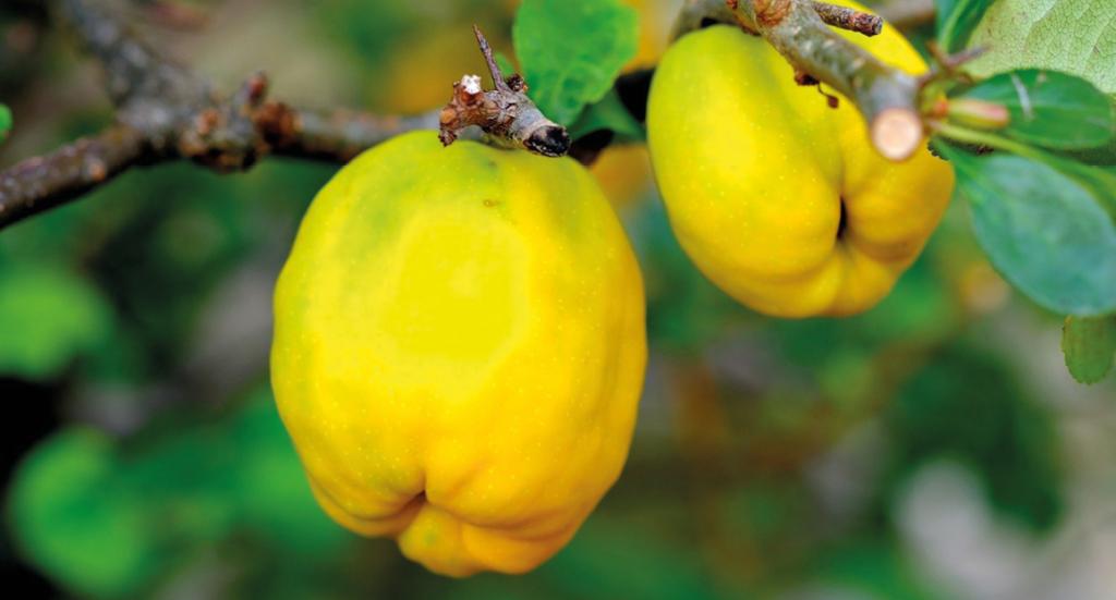 kvæder, grimme æbler, kvæde frugt, anderledes frugter, eksotiske frugter, frugter til syltetøj,