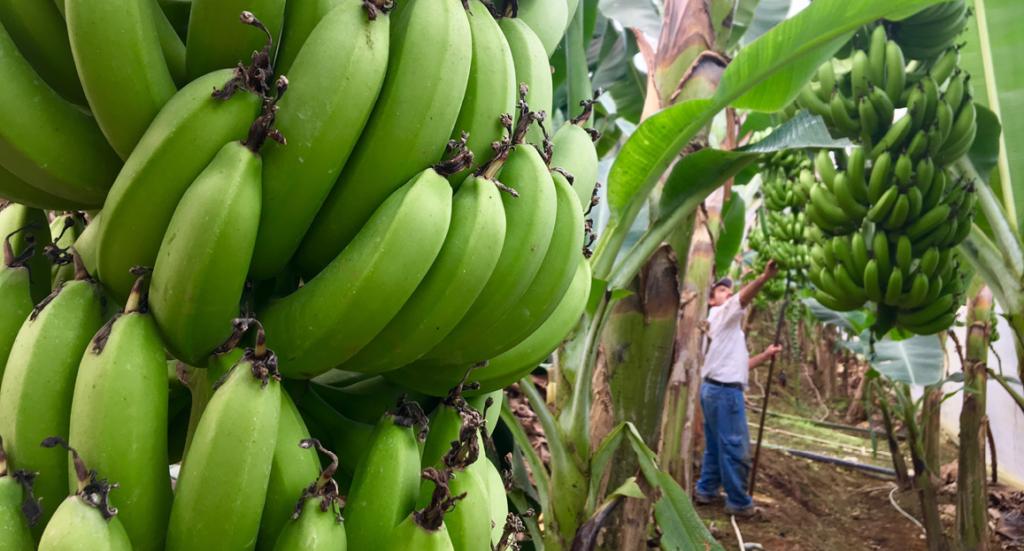 banantur, eurodan banantur, se banan plantage, udflugter i alanya, alanya udflugter, alanya seværdigheder, Alanya eurodan,bananer fra alanya, frugt fra alanya, alanya dk, alt om alanya, fakta om alanya, info om alanya