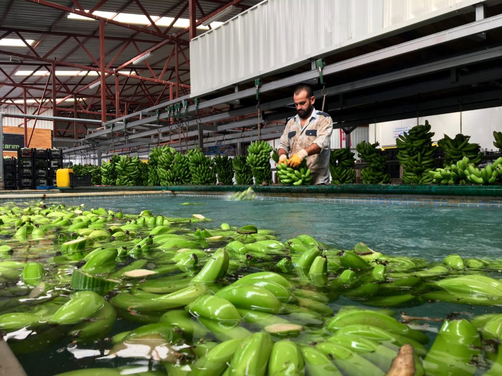 banantur, eurodan banantur, se banan plantage, udflugter i alanya, alanya udflugter, alanya seværdigheder, Alanya eurodan,bananer fra alanya, frugt fra alanya, alanya dk, alt om alanya, fakta om alanya, info om alanya, banan fabrik