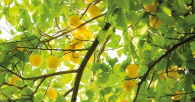 citroner, citron historie, fakta om citroner, alanya, frugter fra alanya, alanya frugter