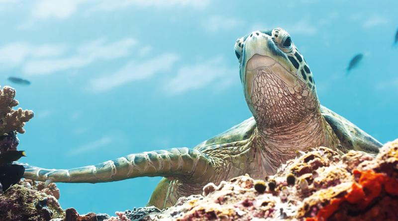 Havskildpadder alanya, alanya havskildpadder, middelhav havskildpadder, carette caretta, leatherback, Hawbills skildpadde, truede skildpadder, fakta om skildpadder