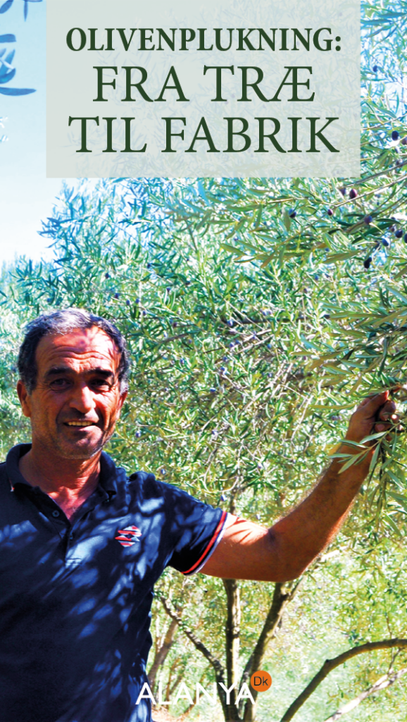 Oliven produktion, produktion af oliven, Sådan produceres oliven