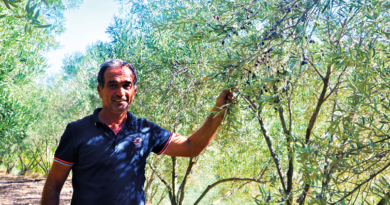 olivenproduktion, oliven fra tyrkiet, tyrksike oliven, sådan producere du oliven, oliven produktion, oliven fra Alanya