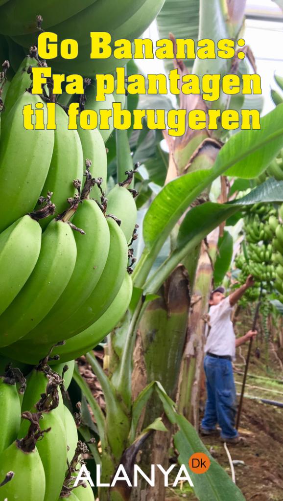 bananproduktion, sådan produceres bananer, Bananer fra Alanya