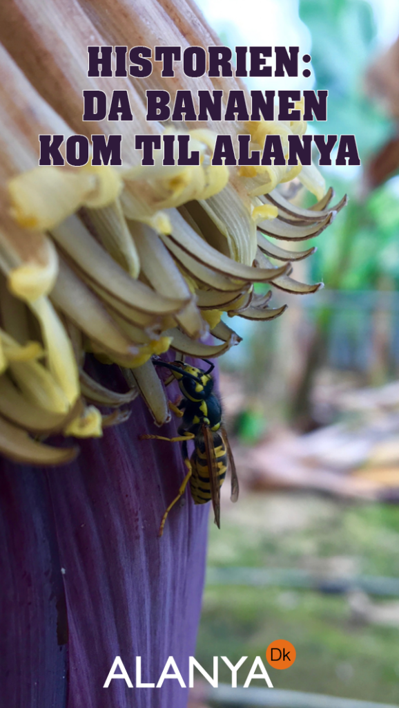Alanyas bananer, Bananens historie, Da banan kom til Alanya