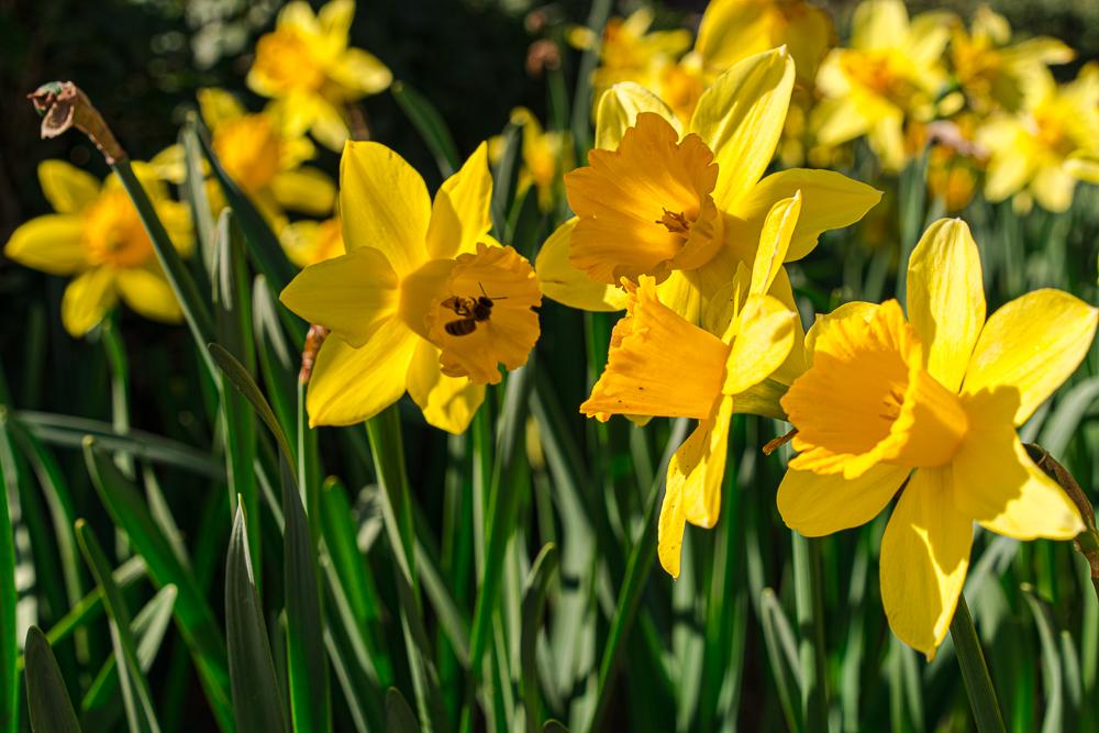 narcissus, påskeliljer, profeten muhammed og påske liljer, historier om påskeliljer, islam og påske, islam og påskeliljer