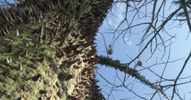 Ceiba speciosa, Brasiliansk floretsilketræ, træ med pigge, pigge træ, damlatas parken, parken i Damlatas, Alanya parker