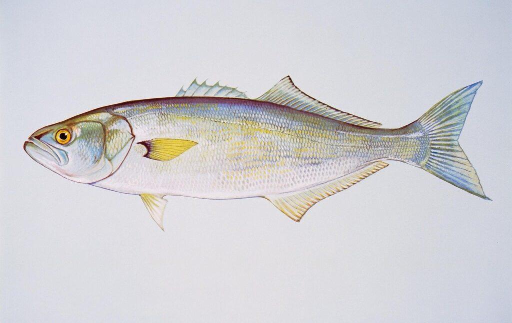 Bluefish tyrkiet, tyrkiske fisk, fisk fra Tyrkiet, fiskemarked i Tyrkiet, Fiskemarked i Alanya