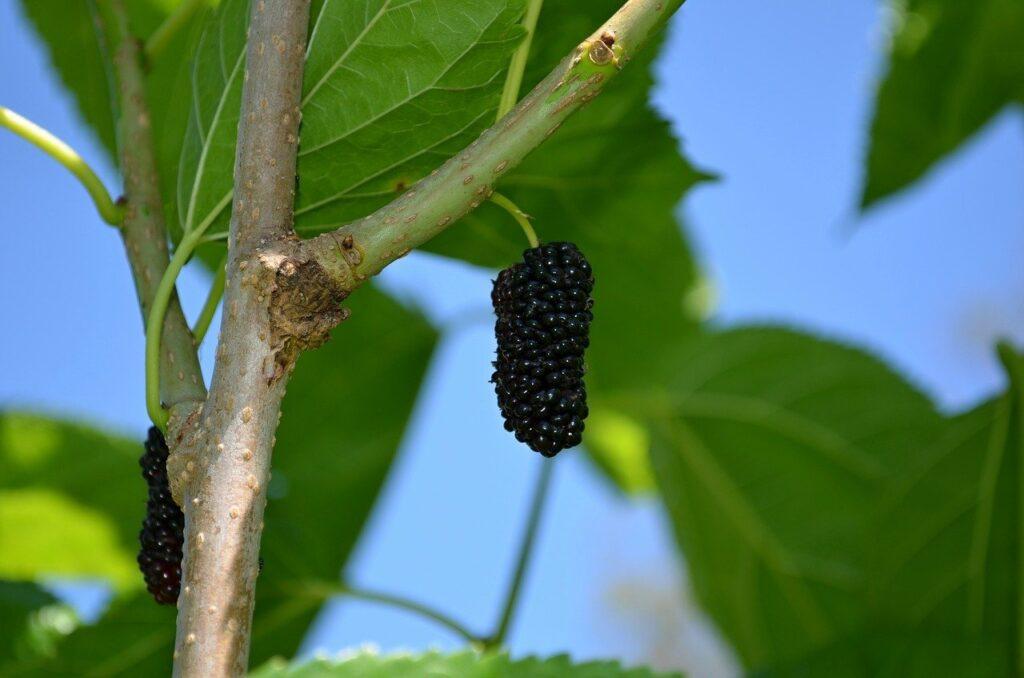 morbær, tyrkiske morbær, frugt fra tyrkiet, bær fra Tyrkiet, Dut frugt, Dut træ, tyrkiske bær, aflange brumbær, brumbær på træer, Maj måned i Alanya, bazar i Alanya